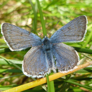 Male greenish blue