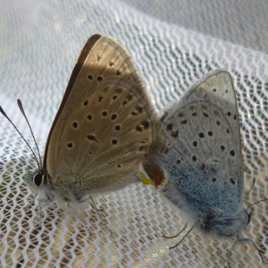Mating greenish blue butterflies