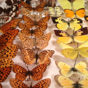Matt Forister's butterfly collection