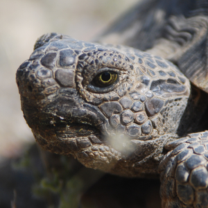 Desert tortoise face