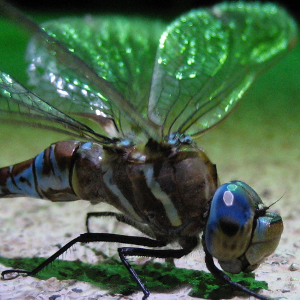 Odonata attracted with a Mercury vapor lamp