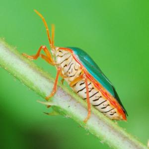 Hemiptera, Parque Nacional San Lorenzo