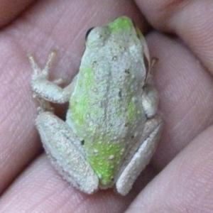 Sierran Treefrog