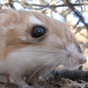 Merriam's kangaroo rat