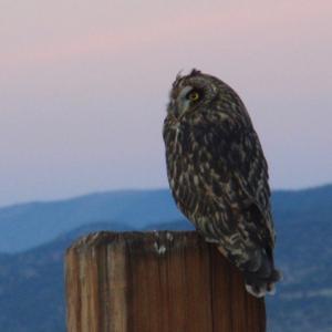 Short-earde Owl