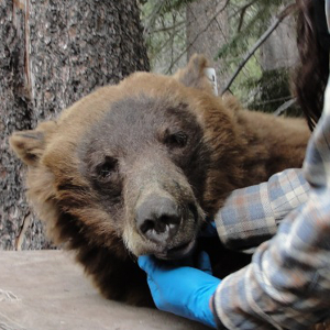 Processing a black bear