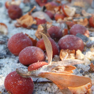 Bonny Doon manzanita fruits