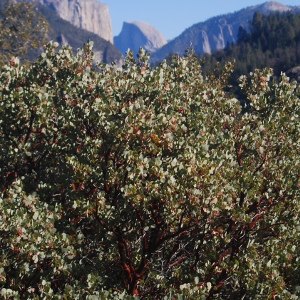 Manzanita and Half Dome