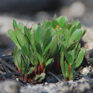 Greenleaf anzanita seedlings