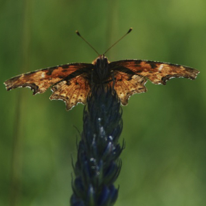 comma butterfly and bigleaf lupine