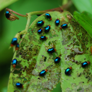 Blue beetles as herbivores