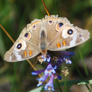 Common Buckeye on a meadow penstemon