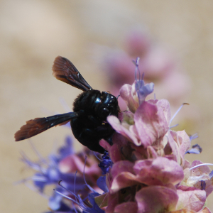 Purple sage pollination