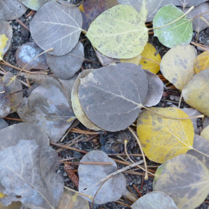 Quaking aspen forest floor