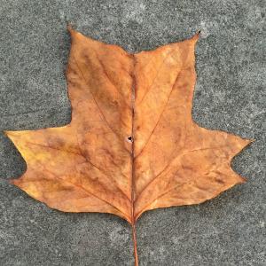 Tulip popular leaf