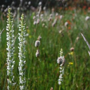 Sierra bog orchid Sierra Nevada meadow