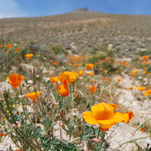 California poppies Mojave Desert